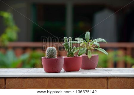 Three Cactus tree in mini potted is Mammillaria cactus species and Opuntia ficus-indica or Prickly cactus species and Dorstenia Foetida or Grendelion species Were placed at border of the Wall.