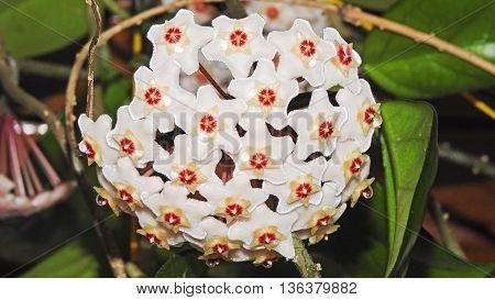 Indoor flower Hoya or wax ivy. Isoleted flower photo.