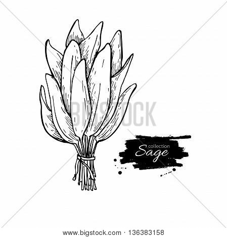 Sage bunch vector drawing. Isolated sage leaves bunch. Herbal engraved style illustration. Detailed organic product sketch. Cooking spicy ingredient