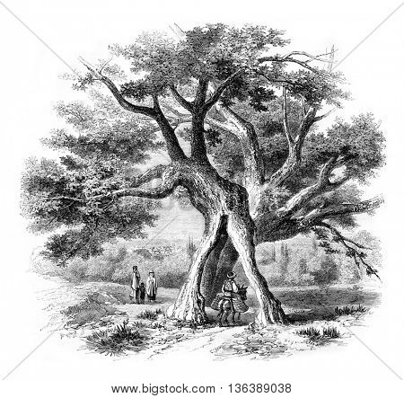 Remarkable trees, vintage engraved illustration. Magasin Pittoresque 1852.
