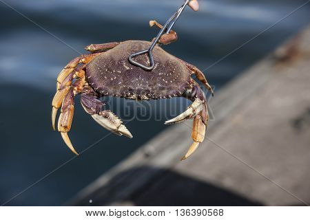 A close up of dungeness crab just caught.