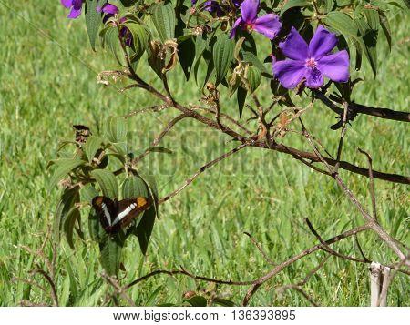 borboleta marrom, branca e laranja pousando na folha com galho de flores roxas
