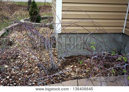 Black raspberry plants (Rubus occidentalis) lie dormant during December in a garden in Harbor Springs, Michigan.