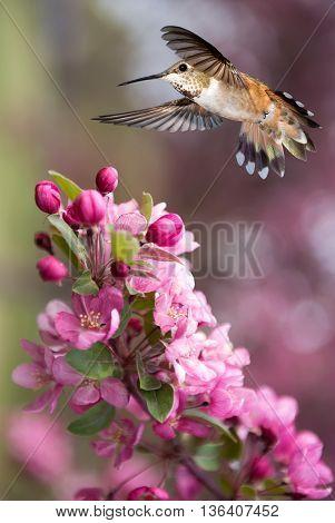 Hummingbird hovering on pink blossom over bright summer background