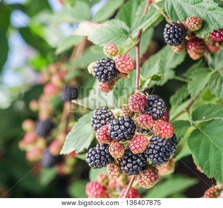 Blackberries on the shrub in the garden. Closeup shot.