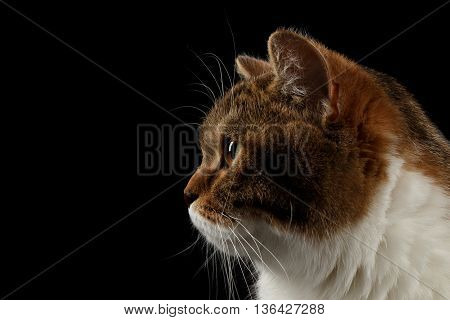 Closeup Portrait of Cute Scottish Straight Male Cat Face on Isolated Black Background, Side view, Looks in Profile Tabby with white Cat