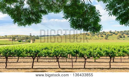 Grape vines in Barossa Valley South Australia.