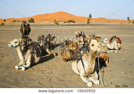 Camels Gossip In The Sahara