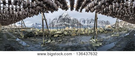 Panorama of stockfish (cod) hanging  in Reine Lofoten Islands Norway.