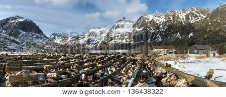 Panoramic viev of stockfish (cod) in winter time on Lofoten Islands North Norway.