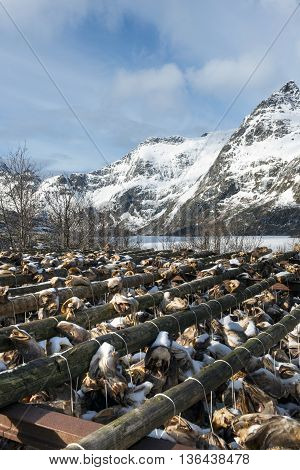 Stockfish (cod) in winter time on Lofoten Islands Norway.
