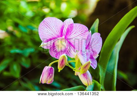 The Dendrobium orchid is blossoming colourfully in green background.