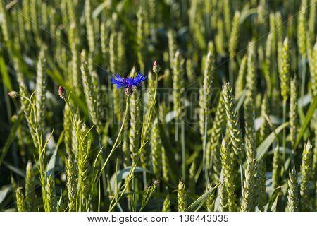 Single Blue Cornflower On The Rye Field Background