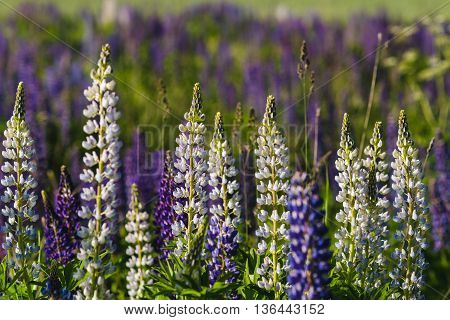 White Lupines Close-up View