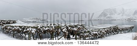 Panorama of stockfish (cod) drying during winter time on Lofoten Islands Norway.
