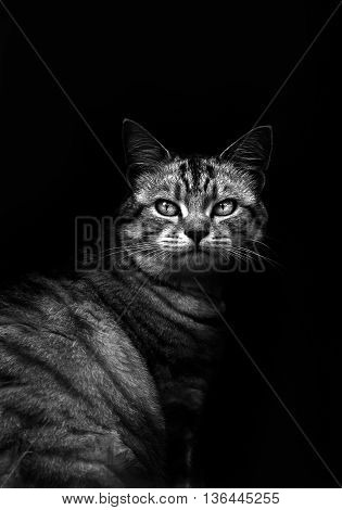 Cute cat in black and white looking at the camera