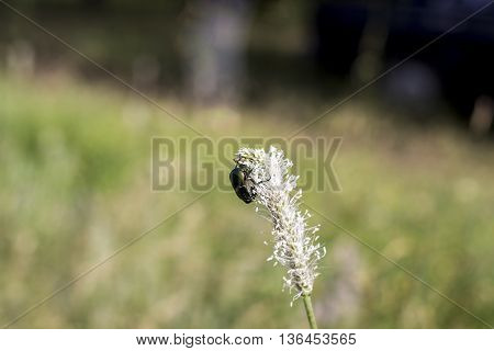 flower chafer scarab beetle or may bag