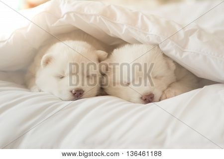 Two White siberian husky puppies sleeping on white bed under white blanket