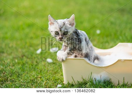 Cute tabby kitten taking a bath in the garden