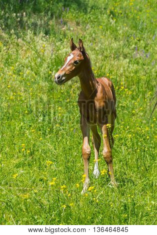 Portrait of newborn foal on a summer pasture