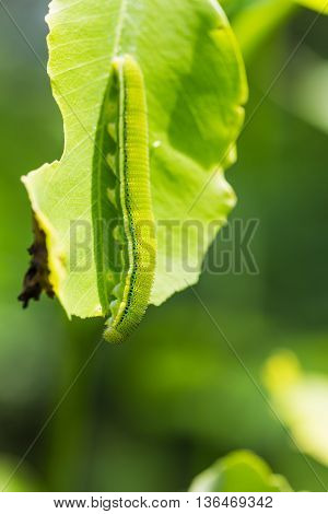 Lemon Emigrant Caterpillar