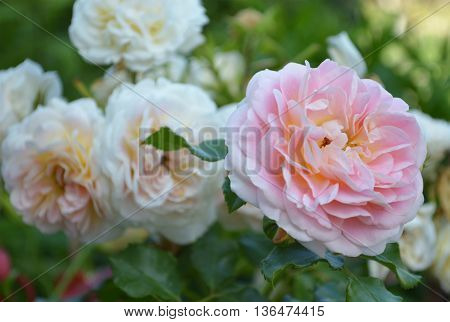 blooming  peachy-pink rose on the green background