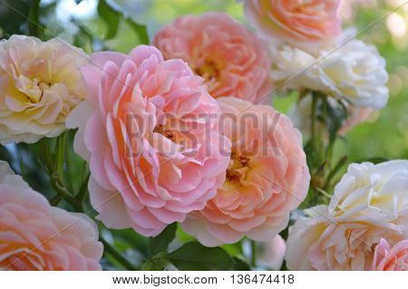 blooming branch of the peachy-pink rose on green