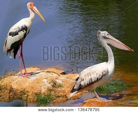 breeding Painted Stork and breeding Spot-billed Pelican standing on shore of small lagoon near Songkhla, Thailand