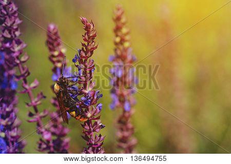 Scolia seats on fresh purple flowers of salvia on the meadow