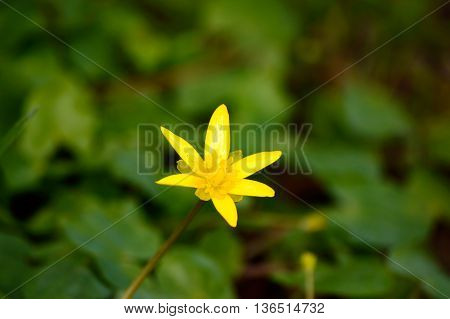 Close up detail view on single yellow flower with six petals sticking up through green plants