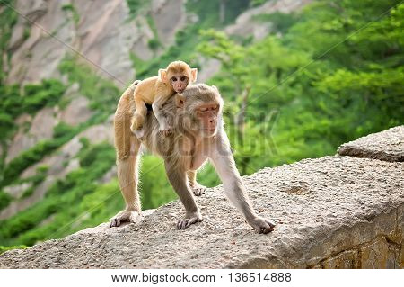 The female monkey carries her baby on back. Galwar Bagh Monkey Temple Jaipur India