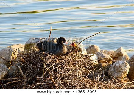Moorhen looking after chicks on the nest of twigs in evening light built at the side of a tranquil freshwater lake