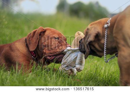 Boerboel A Dogue De Bordeaux Puppy