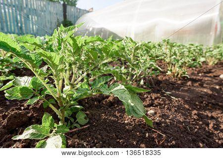 Rows Of Potato Plants In Soil
