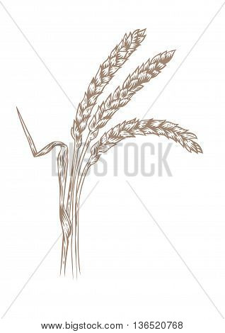 Drawing of three spikelets of barley on the white