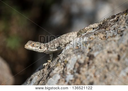 a lizard is warming up in mid day sun