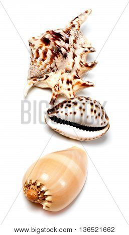 Three seashells isolated on white background .