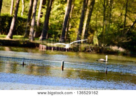 Waterbird flying away from the camera low over the water of a tranquil lake towards woodland or forest trees on the shoreline