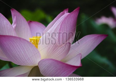 The blossoming lotus flower closeup in garden