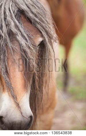 Belgian horses in the wild in a meadow