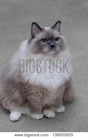 Ragdoll cat with blue eyes sitting indoor. Purebred blue mitted young fluffy cat.