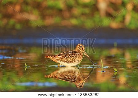 snipe and reflection in the water, hunting bird, long beak, colorful feathers