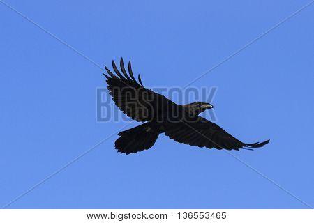 black crow flies at the blue sky, a bird symbol, scary bird