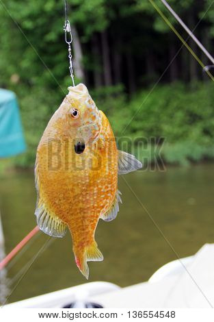 Sunfish close up hanging from a fishing line