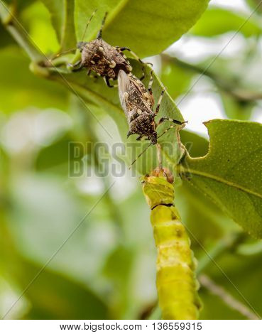 assassin bug is killing a butterfly in garden