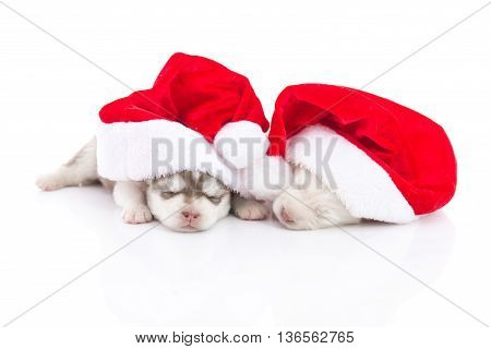 Two Siberian husky puppies in Santa Claus xmas red hat on white background isolted