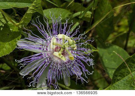 Odd Purple Passion Maypop Flower Passiflora incarnata Wildflower