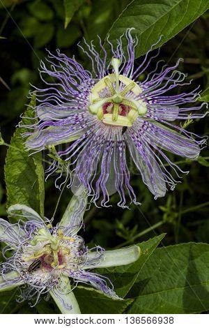 Strange Purple Passion Maypop Flower Passiflora incarnata Wildflower poster