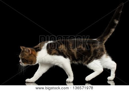 Walking Scottish Straight Cat White with Brown tabby on Isolated Black Background Profile view Raising up Tail