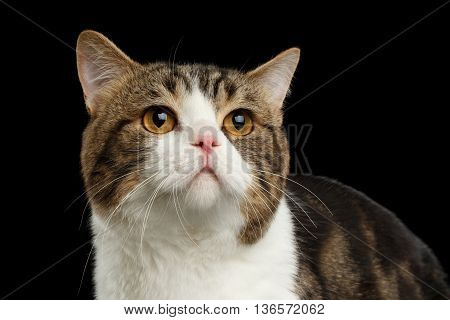 Closeup Face of Sad Scottish Straight Cat White with Brown tabby Isolated Black Background Front view melancholy Looking up
